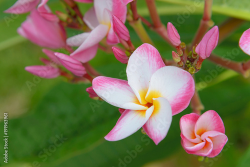 Tuinposter Frangipani plumeria flower blooming on tree - flower color white, pink and yellow, spa flower
