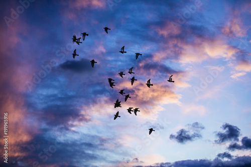Fototapeta Silhouette of birds flying into the sunset clouds  obraz