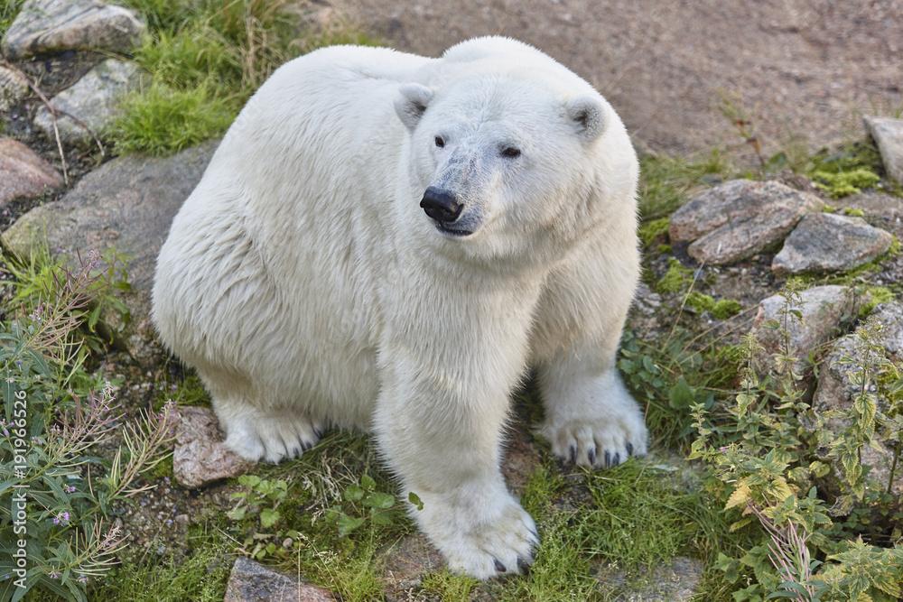 Polar bear in the wilderness. Wildlife animal background