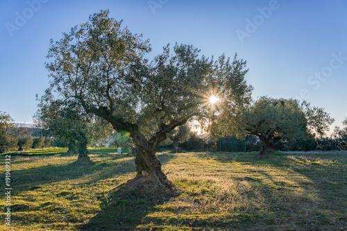 Foto op Plexiglas Olijfboom Amanecer entre los olivos