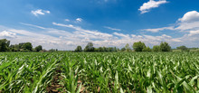 Green Corn Fields With Blue Sky And Clouds