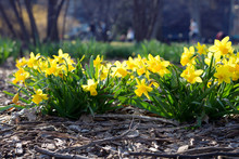 Daffodils Flower In Public Park