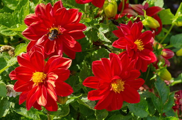 Red dahlias with bumblebee in the garden
