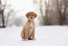 Adorable Toller Puppy Portrait...