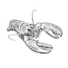 Lobster Hand Drawn Sketch Style Vector Illustration. Old Hand