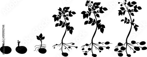 Potato plant growth cycle with silhouettes of plants