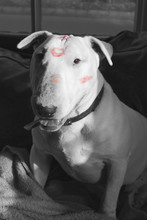 Lenny English Bull Terrier Kis...