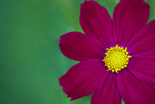 Closeup Cosmos Deep Pink In Th...