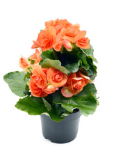 Orange Red Begonia Elatior Flo...