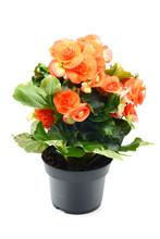 Orange Red Begonia Elatior Flo...