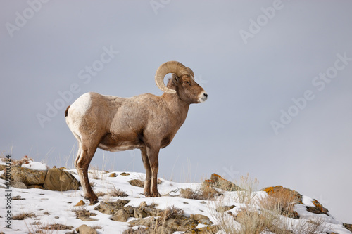 Cadres-photo bureau Sheep Bighorn Sheep