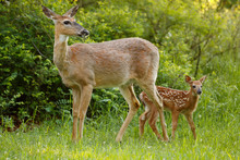 A White-tailed Deer With Her F...