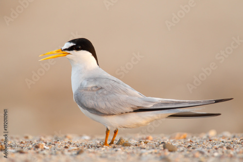 Cuadros en Lienzo least Tern