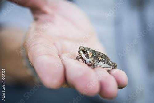 Whistling Rain Frog, Breviceps sopranus