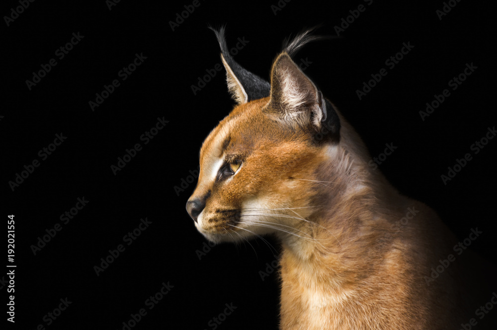 Fototapeta Beautiful caracal lynx over black background
