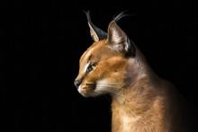 Beautiful Caracal Lynx Over Bl...