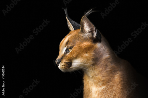 Spoed Foto op Canvas Lynx Beautiful caracal lynx over black background