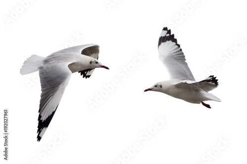 Fotografia seagull flying isolated on a white background