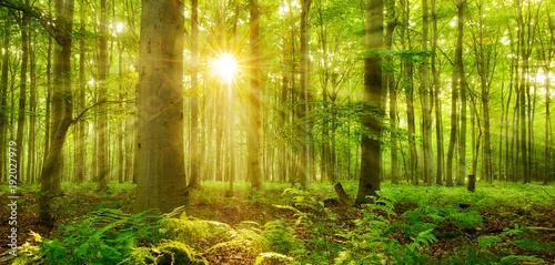 Fototapeten Wald Sonne strahlt durch naturnahen Buchenwald, Farn bedeckt den Waldboden