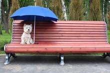 West Highland White Terrier We...