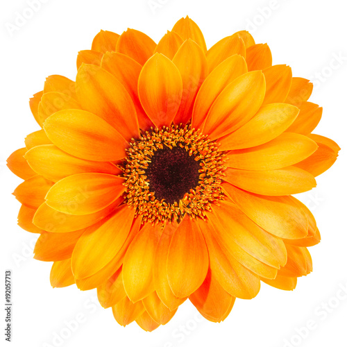Tuinposter Gerbera Orange gerbera flower isolated on white background