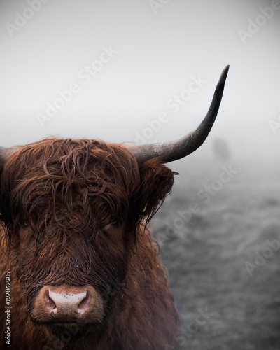 Fototapeta A highland cow in Scotland. obraz