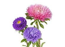 Aster Flowers Isolated On A Wh...
