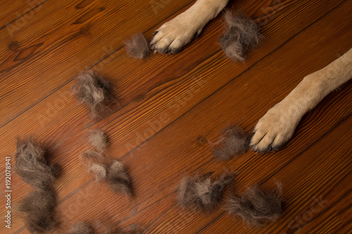 dog paws on wooden floor background with pile of wool. dirty flo