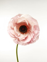 Close-up Of Pink Poppy Flower ...
