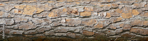 Fototapeta Pine tree bark with rough cracked dry surface. Neutral gray and brown textured background with cracks and lines. obraz