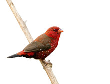 Beautiful Red Bird With Nice E...