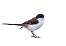 Burmese Shrike (Lanius Collurioides) Red Back White Belly And Black Head Bird With Puffy Feathers Isolated On White Background Showing Details From Beak To Toes, Exotic Nature