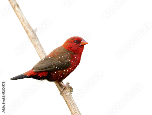 Photo Beautiful red bird with nice eyes strong beak perching on wooden stick isolated