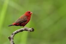 Red Avadavat, Red Munia Or Str...