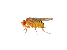 Drosophila Fruit Fly Insect Is...