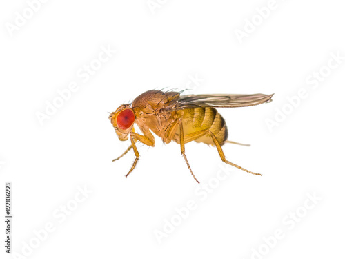 Drosophila Fruit Fly Insect Isolated on White Macro
