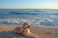 Golden Labrador Retriever Dog Sunbathing At The Beach