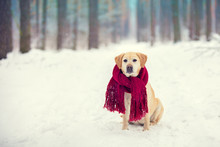 Dog Labrador Retriever Wearing...