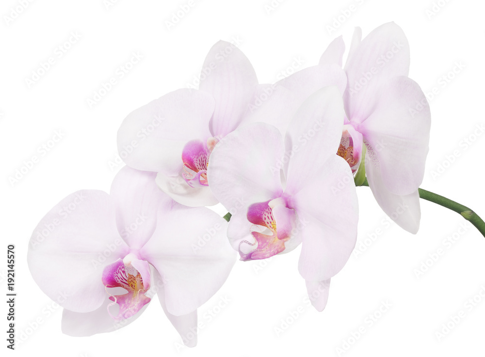 isolated branch with four light pink orchid blooms