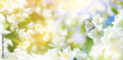 Fotobehang Vlinder Natural background with butterfly on the branch of blooming jasmine. Spring scene.