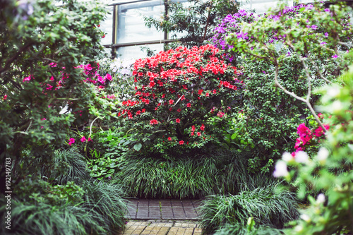 Bright multicolored camellia bushes inside the greenhouse Fototapete