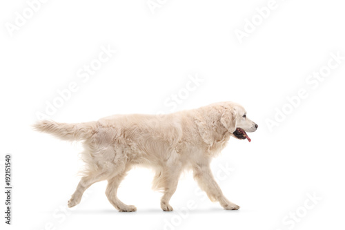 Fototapeta Labrador retriever dog walking