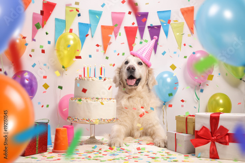 fototapeta na drzwi i meble Labrador retriever dog with a birthday cake
