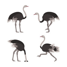 Cartoon Ostrich Bird Set. Vector