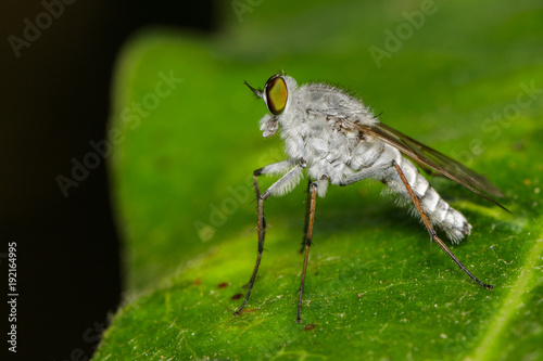 Image of an robber fly(Asilidae) on green leaves on the natural background. Insect. Animal.