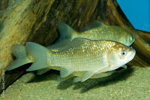 Fotografie, Obraz  Crucian carp (Carassius gibelio)