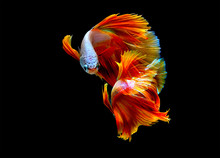 Beautiful Movement Betta Splendens , Siamese Fighting Fish,colorful, Isolated Black Background.