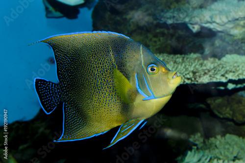 Photo Koran Angelfish (Pomacanthus semicirculatus)