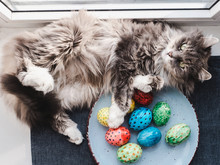 Fluffy, Gray Cat Resting Near A Plate With Multi-colored Easter Eggs