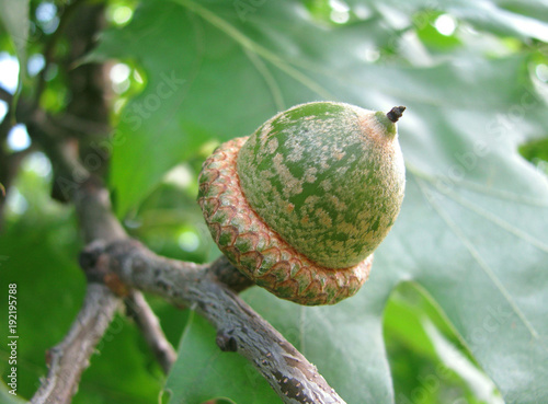 The unripe oak acorn.